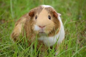2017-02-guinea-pig